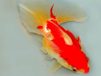 【金魚】金魚・・・ほとんどの品種弱かったなら強いと言えただろう!現実は違う!