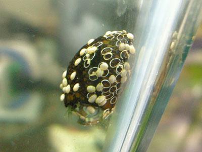 【アクアリウム】石巻貝・・・単独飼育でも卵産みつける?
