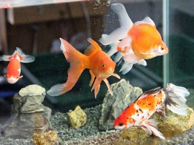 【金魚】体の調子が悪くて世話ができない!ヌルヌルで分解もできない