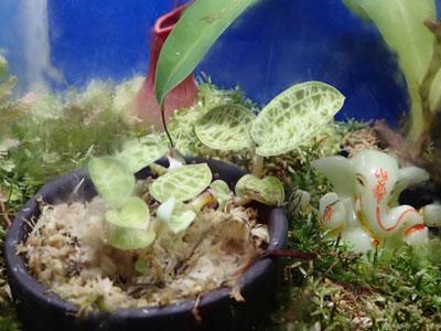 【水草】パルダリウム用に水草の水上葉扱ってる所知らない?