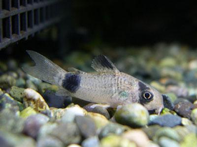 【コリドラス】稚魚が2cm超えたから・・・どうやって餌慣れさせたらいいんだ