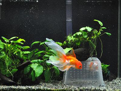 【金魚】・・・金魚一匹だけ!もう一匹飼った方がいい