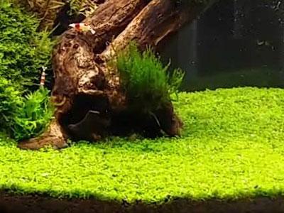 【水草】キューバパールの成長は遅いよなあ