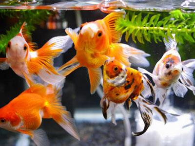 【金魚】金魚・・・みんな浮き気味!これは餌に原因ある?
