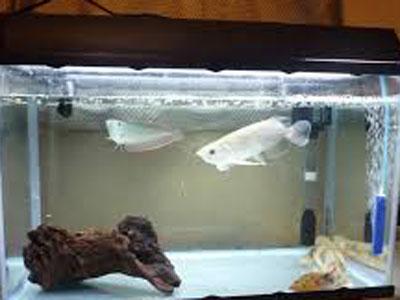 【アクアリウム】最大30cmいかないくらいのええ中型魚おらん?