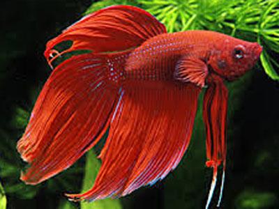 【アクアリウム】トラディショナル赤を飼おうかと・・・混泳は可能?