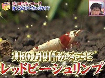 【レッドビーシュリンプ】今から金儲けするためには何のエビを買えばいい?