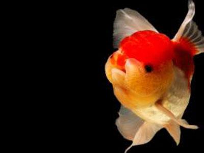 【金魚】金魚に数時間の置き餌って初めて聞いた!水の痛み早くない?
