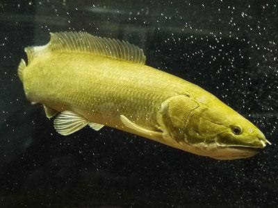 【アミアカルヴァ】独特の魅力がある魚なんだけどね
