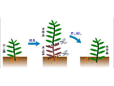 【水草】有茎は水中化してらみんな差し戻してる?