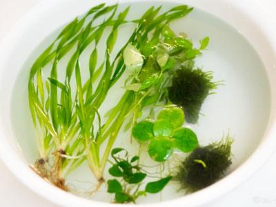 【水草】買った水草念入りに洗って炭酸水に漬けたのに・・・