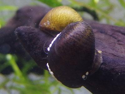 【アクアリウム】バクチカノコ貝くんが一週間経ってようやく動き出してくれた