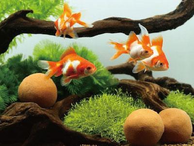 【金魚】ゼイライト入れてるのに臭い・・・金魚ってこんなもん?