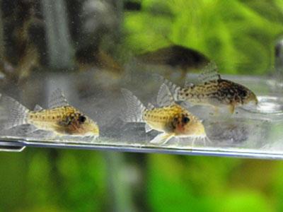 【コリドラス】稚魚は何日目からブライン食べれるようになります?