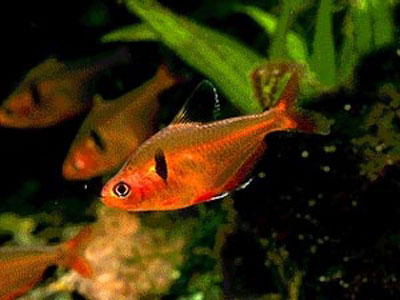 【アクアリウム】・・・この熱帯魚は何という名前かわかりますか?