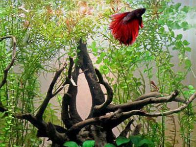 【ベタ】温室環境用意して綺麗な魚眺めてるのダサくない・・・