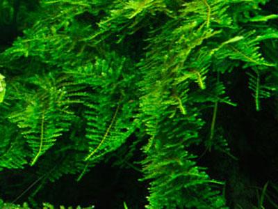 【水草】ウィローモス系って硬度低すぎると育たない?