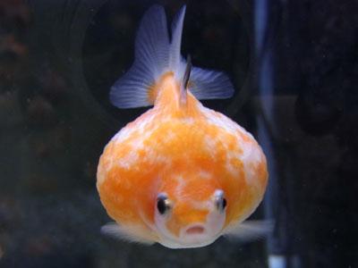 【金魚】お店で見たピンポンパールが…状態わるいんか?