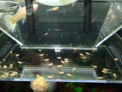 【グッピー】稚魚をどのくらいのサイズになるまでシュリンプ与えていますか?