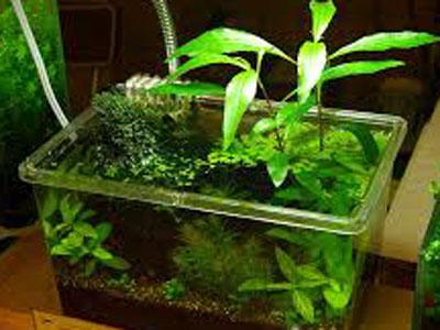 【アクアリウム】プラケで育成可能な水草は何がありますか?
